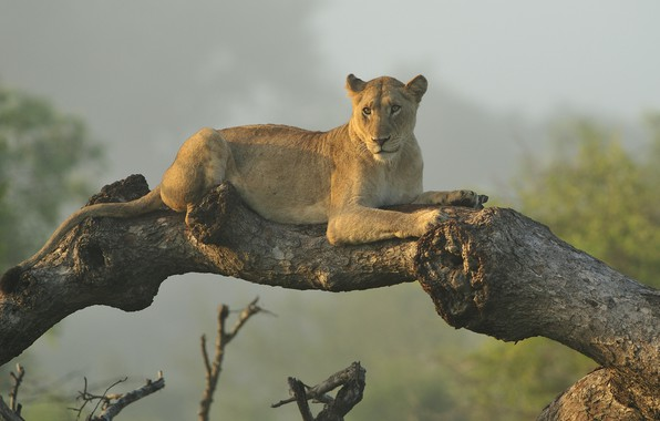 Picture tree, stay, lioness