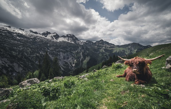 Picture mountains, nature, cattle
