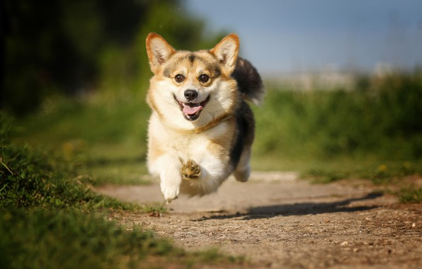 Picture joy, mood, jump, dog, track, flight, walk, bokeh, Welsh Corgi