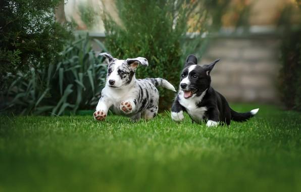 Picture dogs, grass, joy, mood, lawn, puppies, walk, a couple, Ekaterina Kikot, Вельш-корги-кардиган