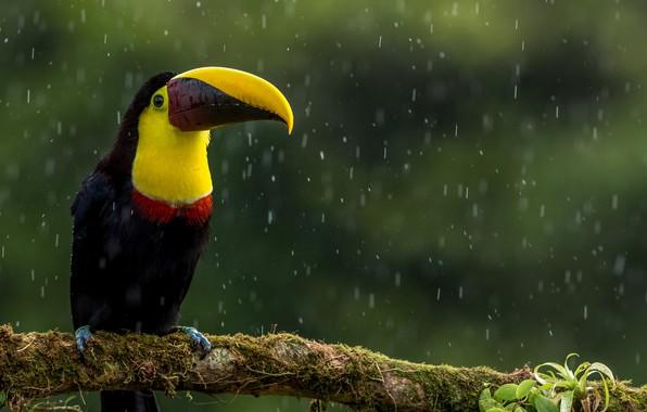 Picture leaves, rain, bird, branch, beak, Toucan