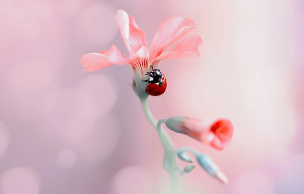 Picture flower, macro, nature, ladybug, beetle, buds, bokeh, Rina Barbieri