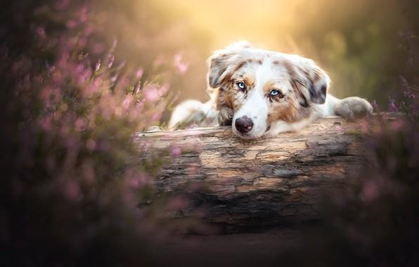 Picture face, dog, log, bokeh, Australian shepherd, Heather, Aussie
