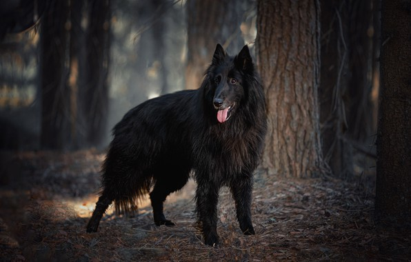 Picture forest, trees, nature, animal, dog, dog, it