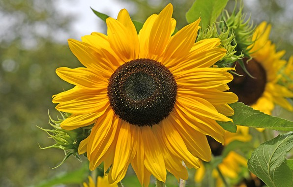 Picture sunflower, petals, the sun