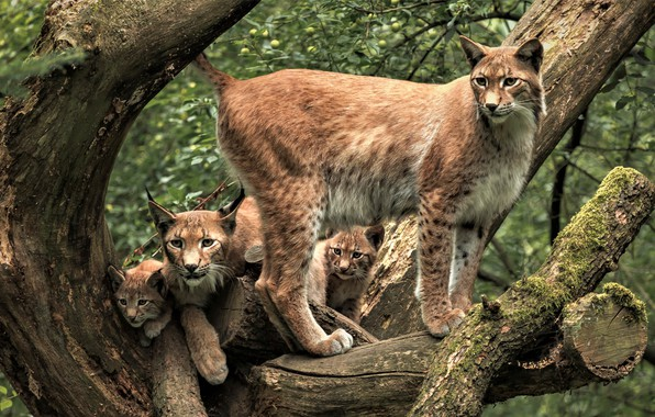 Picture greens, forest, look, branches, pose, tree, foliage, kittens, kids, wild cats, lynx, lynx, mom, cubs, …