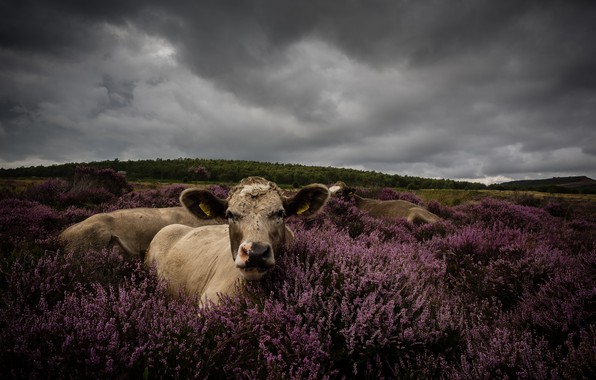 Picture field, forest, look, flowers, clouds, overcast, stay, portrait, cow, cows, pasture, meadow, lies, bushes, Heather, …