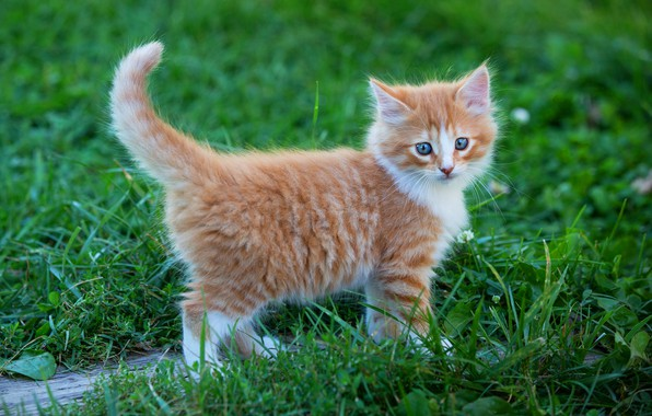 Picture greens, cat, summer, grass, look, pose, kitty, background, baby, red, walk, kitty