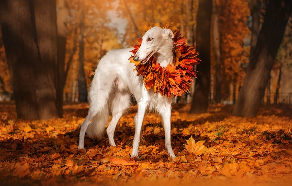 Picture autumn, leaves, trees, nature, Park, animal, dog, wreath, dog, Greyhound
