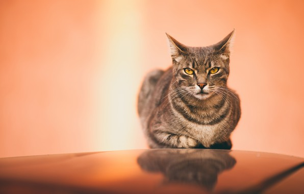 Picture cat, cat, look, face, surface, grey, background, lies, striped, yellow eyes, mirror, pink-orange