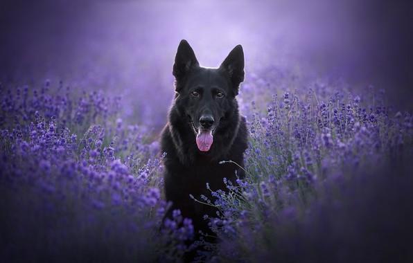 Picture language, look, face, flowers, dog, lavender, German shepherd