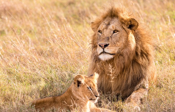 Picture lion, animal, pet, leo