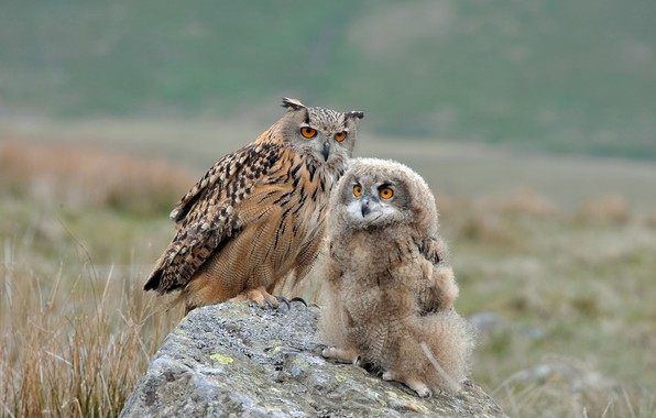 Picture birds, owl, stone, chick, Owl