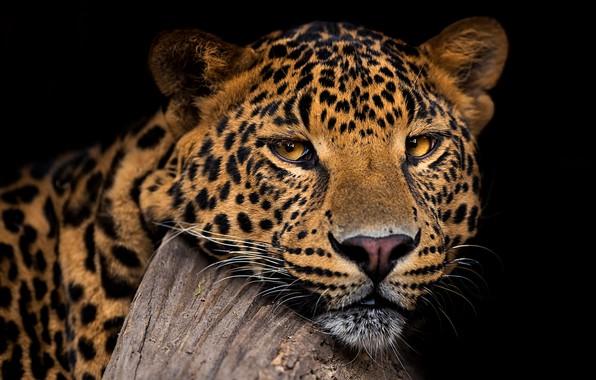 Picture look, face, portrait, leopard, black background, wild cat, handsome