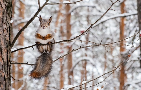 Picture winter, forest, nature, sweetheart, branch, protein, rodent