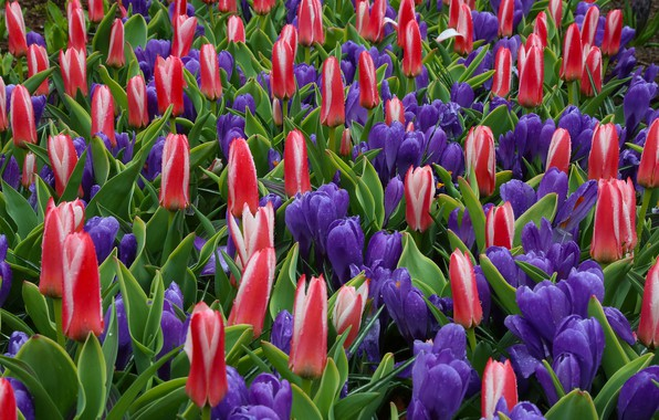 Picture drops, crocuses, tulips, buds