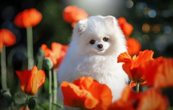 Picture flowers, nature, animal, Maki, dog, dog, bokeh, Spitz