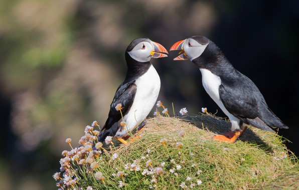 Picture summer, grass, flowers, birds, the dark background, background, two, pair, stalled, bokeh, communication, Atlantic puffin, …