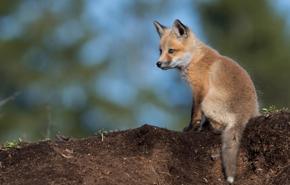 Picture look, pose, earth, blue, small, baby, red, Fox, sitting, cub, blue background, wildlife, Fox, bokeh, …