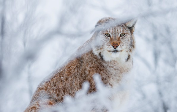Picture winter, forest, cat, look, face, snow, branches, background, snow, beauty, lynx, sitting, wild