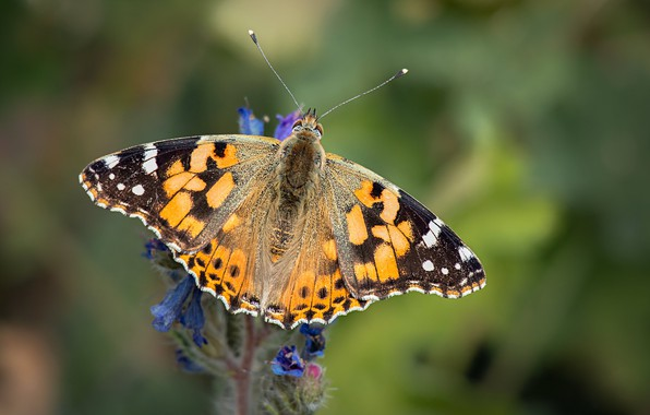 Picture butterfly, the painted lady, painted lady