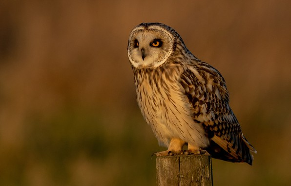Picture sunset, background, owl, bird, post, the evening, feathers, bokeh