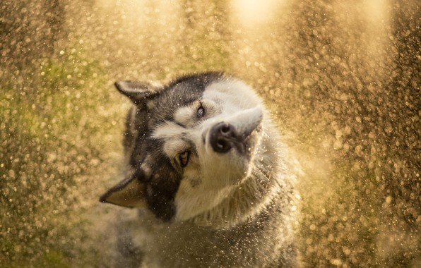 Picture eyes, look, face, water, drops, light, squirt, pose, dog, wet, wool, bathing, husky, fly, bokeh, …