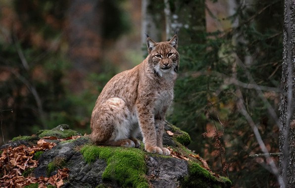 Picture autumn, forest, look, trees, pose, the dark background, thickets, foliage, stone, moss, ate, lynx, sitting, …