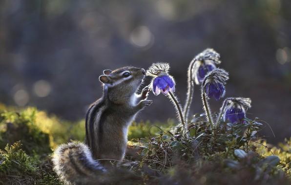 Picture flowers, Chipmunk, bokeh, rodent, sleep-grass, cross