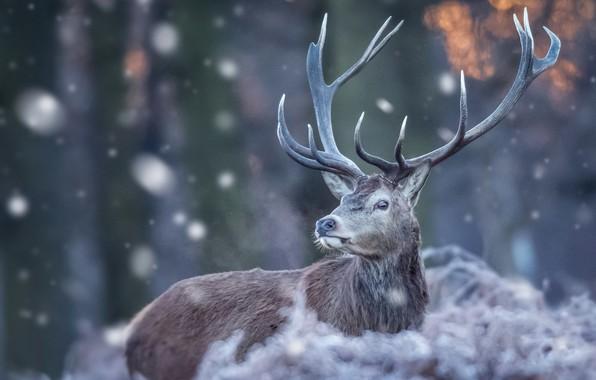 Picture winter, nature, deer, horns, snowfall, bokeh
