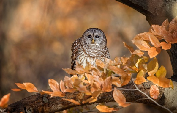 Picture autumn, look, leaves, branches, background, tree, owl, bird, foliage, bokeh, Golden autumn, owl, motley