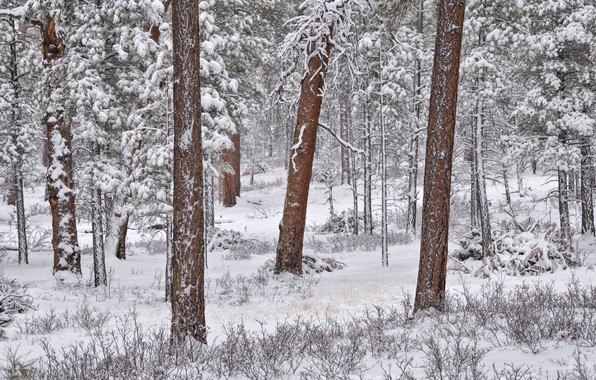 Picture winter, forest, snow, trees, pine