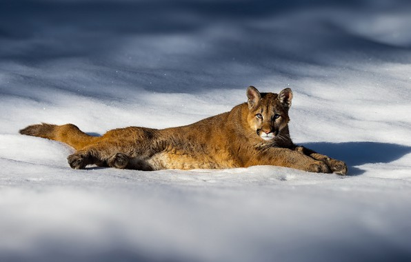 Picture winter, light, snow, the snow, lies, shadows, Puma, Cougar