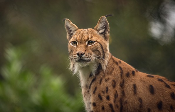 Picture look, face, nature, background, portrait, lynx, wild cat, bokeh