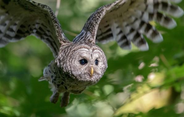 Picture owl, bird, wings, flight, bokeh, Owl