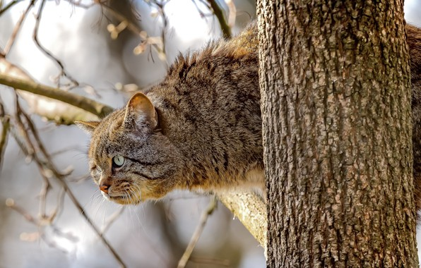 Picture look, branches, tree, on the tree, Wild cat, Wildcat