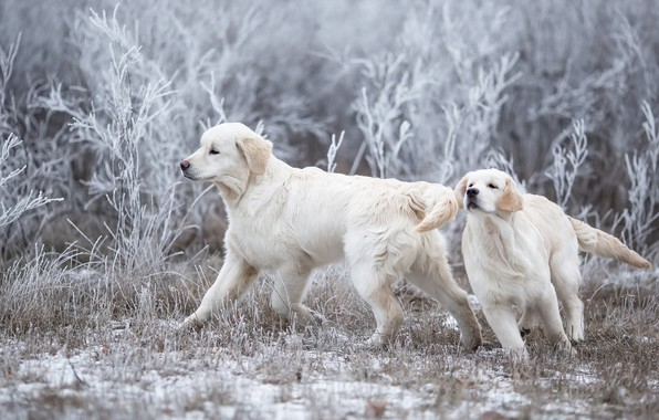Picture winter, frost, dogs, grass, snow, branches, nature, pose, glade, the game, two, puppies, running, pair, …