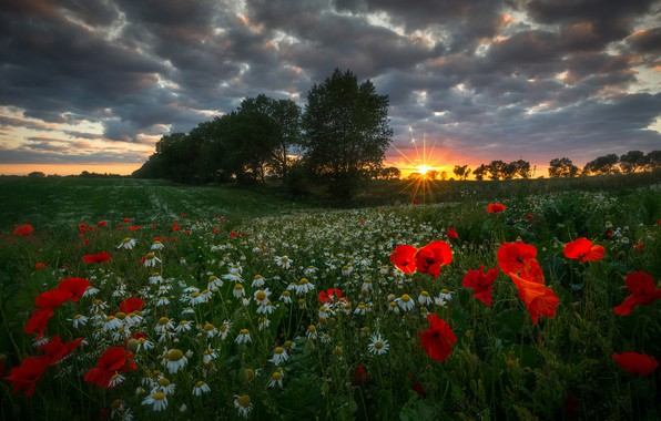 Picture summer, grass, the sun, rays, trees, landscape, sunset, flowers, nature, Maki, chamomile, meadow