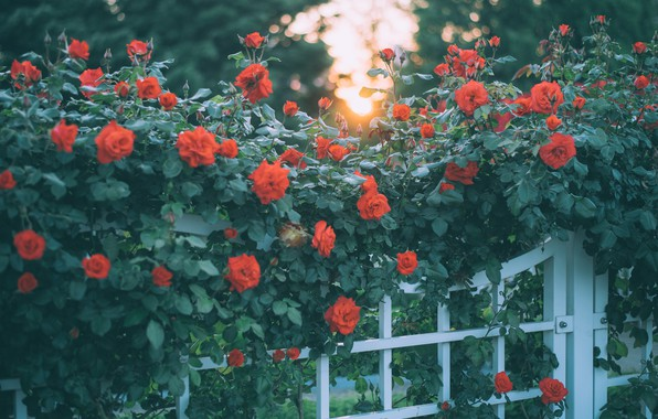 Picture greens, summer, leaves, light, flowers, branches, the fence, roses, door, garden, red, buds, wicket, a …