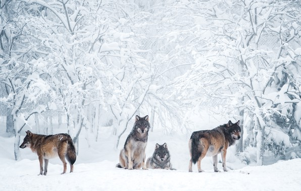 Picture winter, frost, forest, snow, trees, branches, nature, grey, wolf, pack, the snow, wolves, company, grey, …