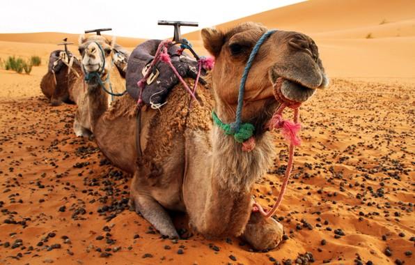 Picture desert, camel, camels