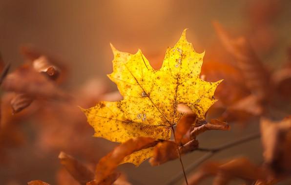 Picture autumn, leaves, light, yellow, sheet, background, foliage, leaf, branch, maple, bokeh, autumn, autumn, maple, maple …