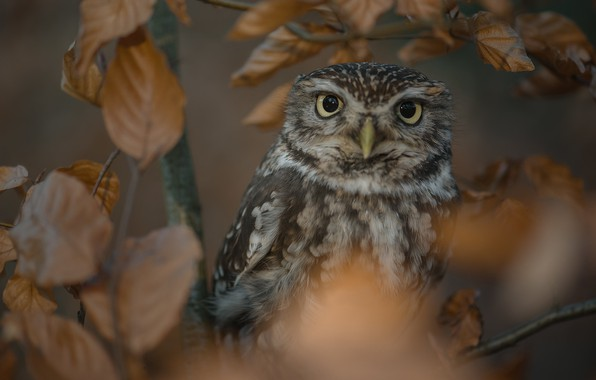 Picture leaves, branches, owl, bird, The little owl