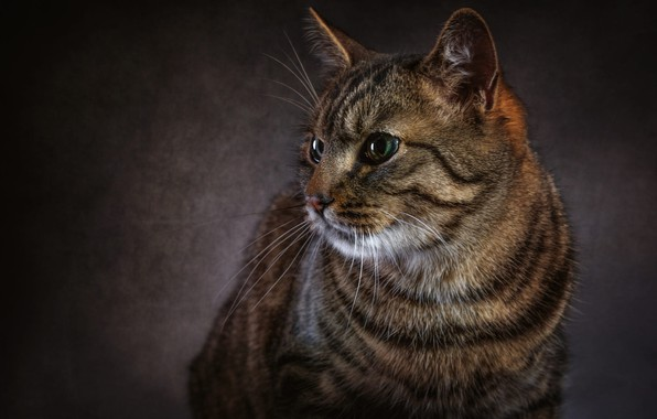 Picture cat, eyes, cat, look, face, the dark background, grey, Shine, portrait, striped