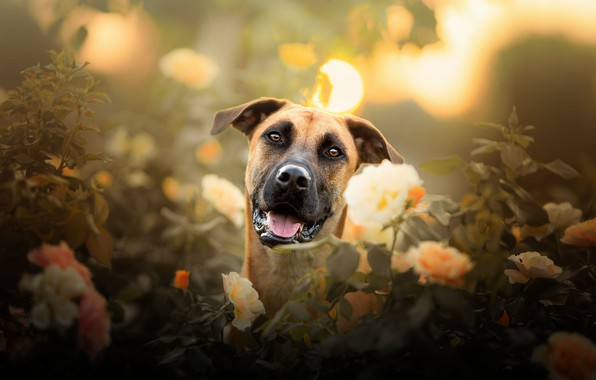 Picture look, face, flowers, roses, dog