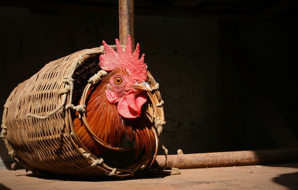 Picture background, basket, cock