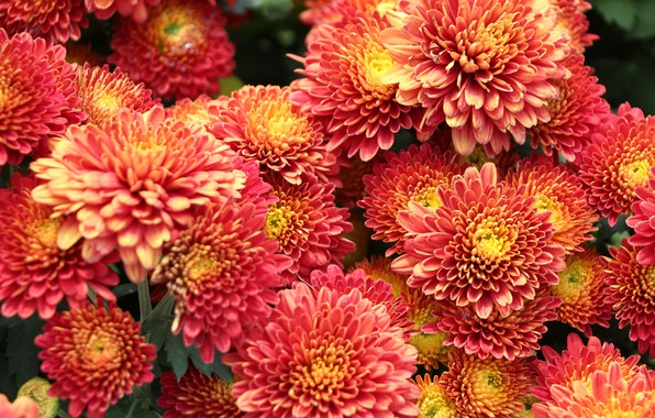 Picture photo, Flowers, A lot, Chrysanthemum
