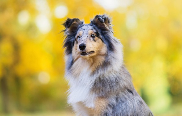 Picture autumn, look, face, yellow, Park, background, portrait, dog, puppy, breed, bokeh, collie