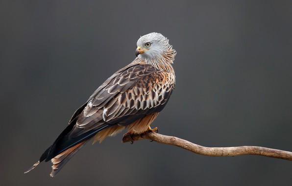 Picture background, bird, predator, branch, feathers, beak, claws, kite, Red kite, Pitigoi pitigoi, Red Kite