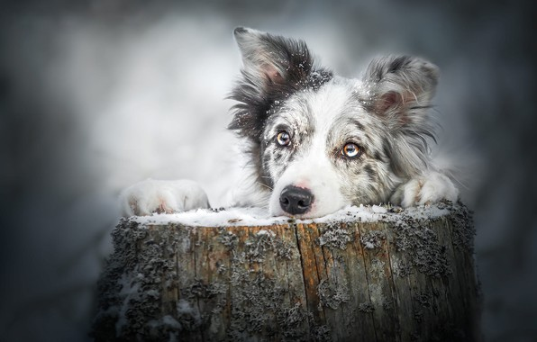 Picture winter, eyes, look, face, snow, pose, grey, background, stump, portrait, dog, paws, snowfall, Australian shepherd, …